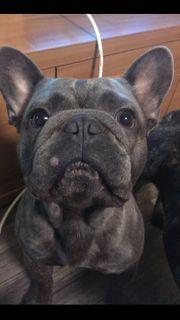 Französische Bulldogge 1 Jahr alt
