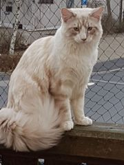 Maine Coon Youngster