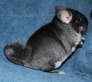 chichilla weibchen ( black