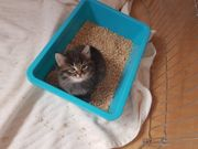 Sibirer-Mix Katzenbabys