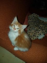 Noch 3 Maine Coon Kater