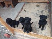 Labrador Welpen schwarz