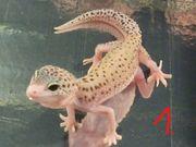 letzten Leopardgecko-Nachzuchten