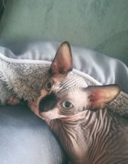 Can Sphynx Kater