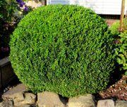 3 gesunde Buchsbaum-