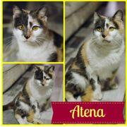Atena (Katze aus