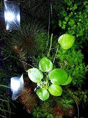 Kleiner Froschbiss, Aquarienpflanzen,