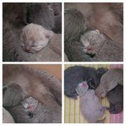 Scottisch Fold BKH Kitten Kätzchen