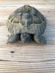 Griechische Landschildkröte Testudo