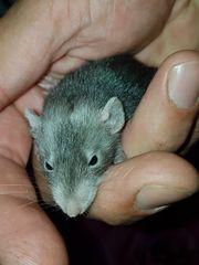 Ratten Farbratten Jungtiere
