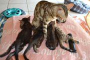 Bengal Kitten - männlich -
