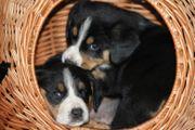 Entlebucher Sennenhund - Welpen