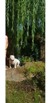 schöner Miniature Bullterrier abzugeben mit