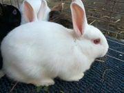 Kaninchen Tala weibl 1 J
