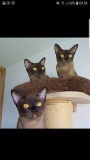 Burma Katze weiblich erwachsen braun