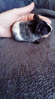 Us Teddy Meerschweinchen Weibchen Buntschimmel