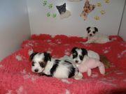 Wunderschöne Biewer Yorkshire Terrier Welpen -