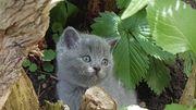 BKH Kätzchen in