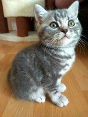 BKH Kitten Britisch