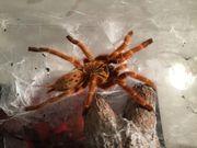 Vogelspinnen: Pterinochilus murinus