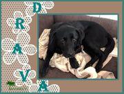 DRAVA Labrador Mix