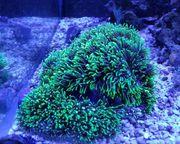 Korallen Meerwasser Grüne Röhrenkoralle Sinularia