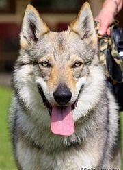 Der Tschechoslowakische Wolfshund -