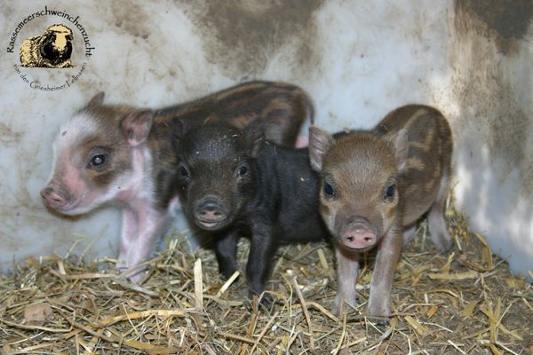 Minischweine - Mini Pigs - » Kleintiere