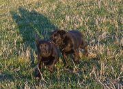 Labrador Welpen in schwarz sehr