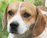 Tierschutz! Beagle-Mix