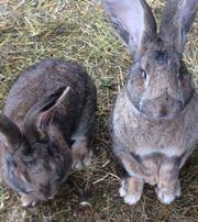 Deutsche Riesen Kaninchen