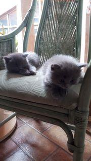 Ksrtäuser Kitten