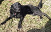 Junger Labrador TINTI