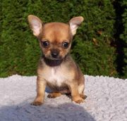 Zuckersüsse Chihuahua Welpen