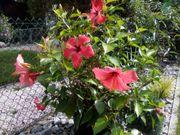 Hibiscus rosa-sinsensis Brilliant