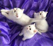 katzen kitten kätzchen BKH katzenbaby