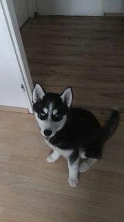 serbien husky