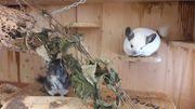 2 zutrauliche Chinchilla-böckchen suchen ein