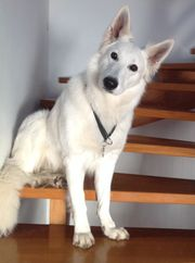 Pyrenäenberghund - kanadischer weißer