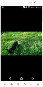 reinrassige mini Chihuahuas