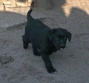 Wunderschöne Labradorwelpen m.