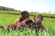 Labrador Hündin Welpe