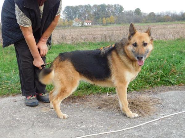 Schäferhündin Fiona sucht » Hunde
