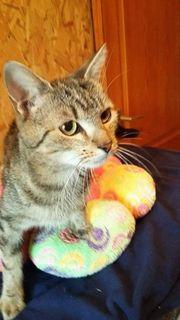 Katze Hermine, kastriert,