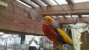 Rote Goldfasane, Ziergeflügel,