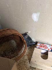 Chinchilla Männchen sucht neues heim