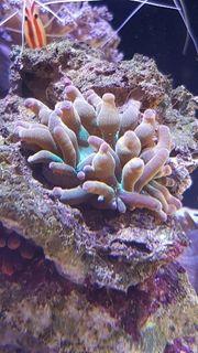 Kupferanemone Sunburst Meerwasser entacmaea quadricolor