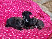 Französische Bulldogge Mix Welpen abzugeben