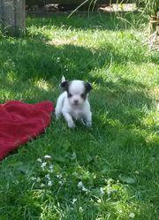 Reinrassiger Langhaar Chihuahua