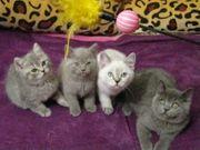 Reinrassige BKH Kitten suchen liebevolle